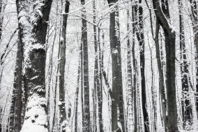 Snow-blind Trees