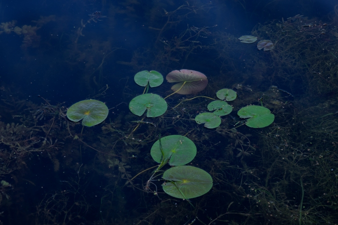 Lilypads By Moonlight