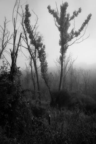 Trees & Fog IV