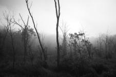 Trees & Fog V