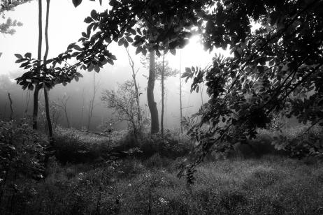 Trees & Fog VII