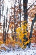 First Snow - Golden