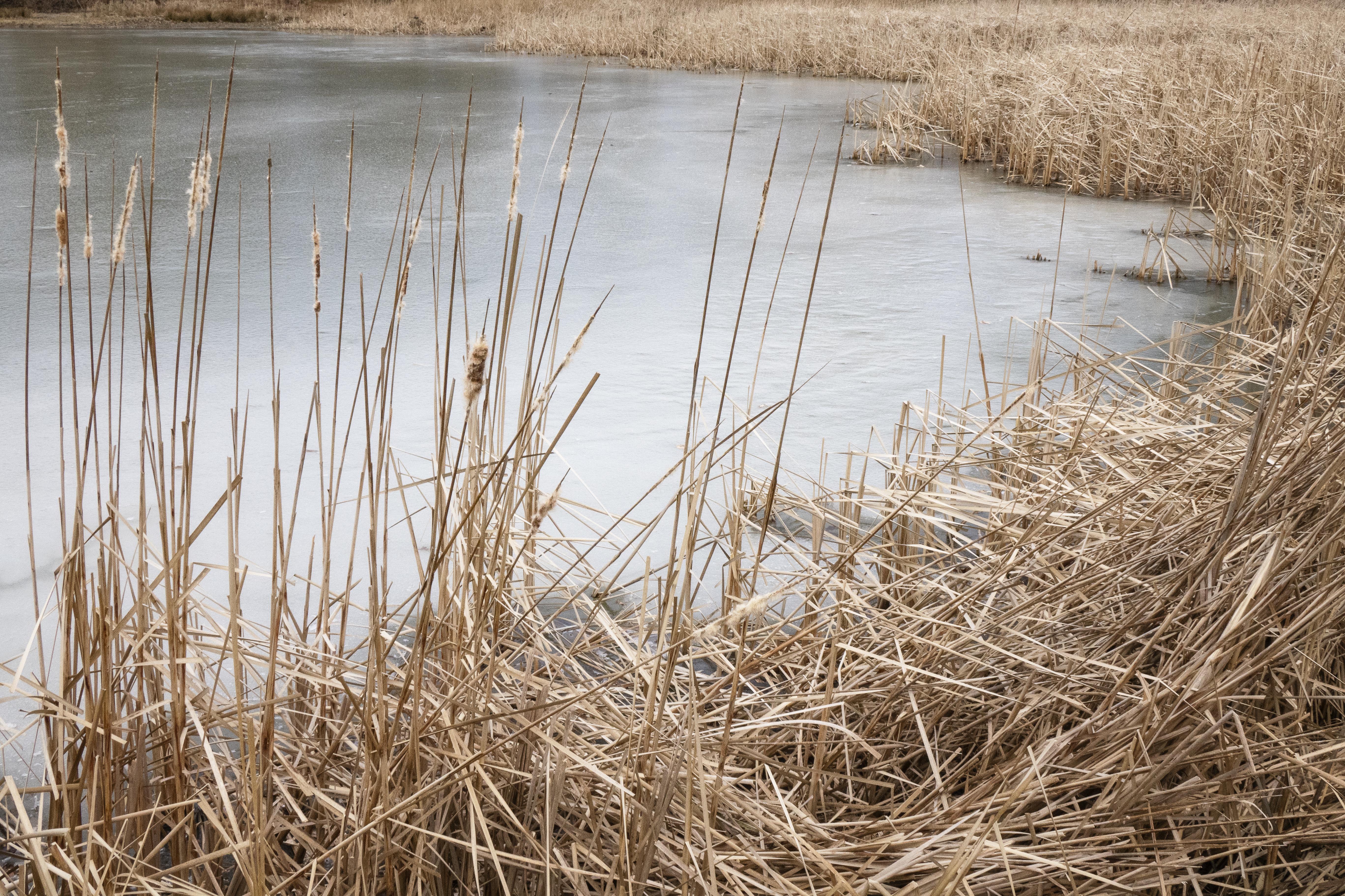 Ice & Reeds