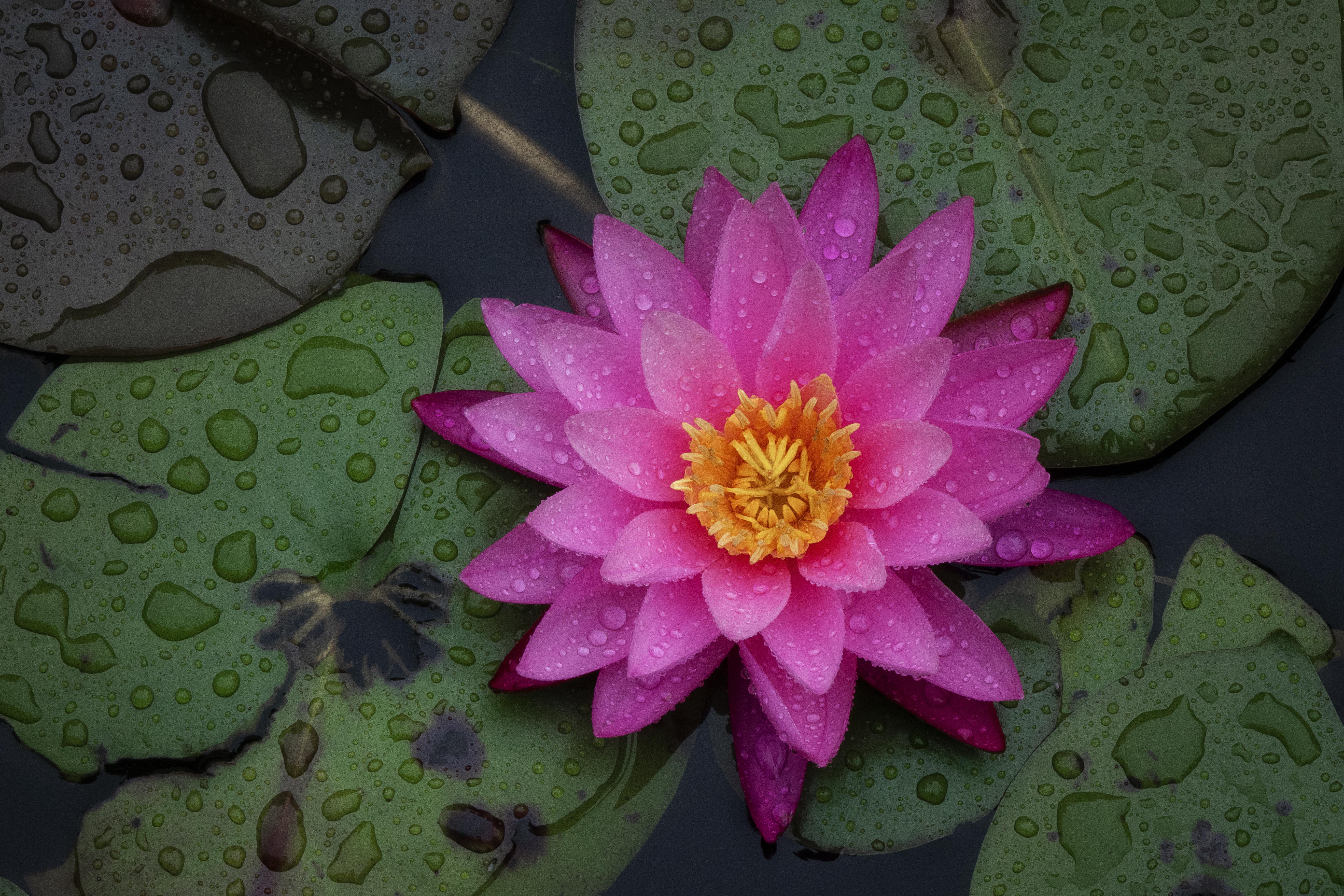 Lotus Blossom In The Rain