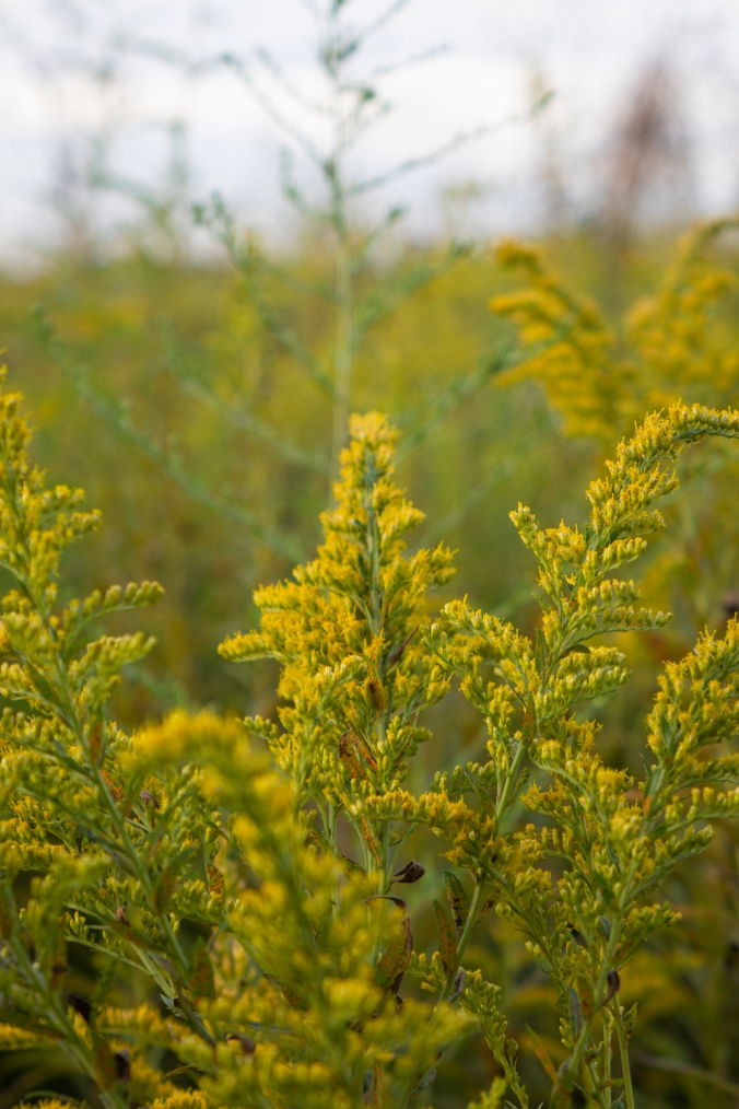 A Field Of Goldenrod