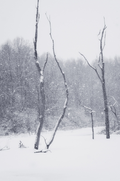 Snow Snags in the marsh